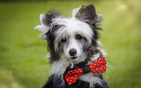 Обои Китайская хохлатая собака, морда, бабочка, портрет, взгляд, собака