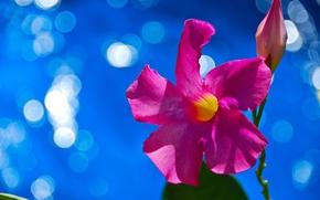 Картинка цветок, природа, растение, лепестки, блик