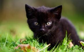 Обои трава, котёнок, малыш, мордочка, чёрный котёнок, взгляд