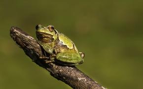 Обои лягушка, фон, природа