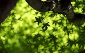 Картинка зелень, лето, листья, макро, свежесть, весна, клён, листочки, листочек, кленовый лист, green macro, leaf wallpapers, ...