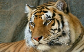 Картинка хищник, Тигр, бенгальский