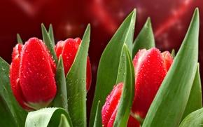 Обои цветы, красота, red, flowers, сердце, валентинка, стебли, Tulips, листья, drops, капли, petals, красные, яркие, bright, ...