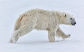 Картинка снег, медведь, Норвегия, белый медведь, Norway, Svalbard, Шпицберген