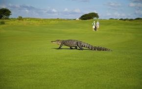 Обои зелень, поле, лето, трава, солнце, люди, газон, ситуация, крокодил, гольф, боке, аллигатор