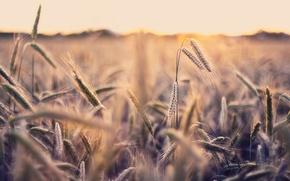 Обои поле, макро, природа, фото, обои, колоски