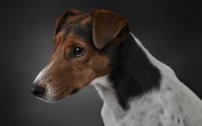Картинка собака, взгляд, fox terrier, друг