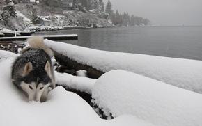 Картинка зима, река, собака, лайка