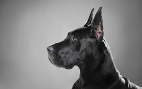 Картинка черный, собака, профиль, порода, немецкий дог