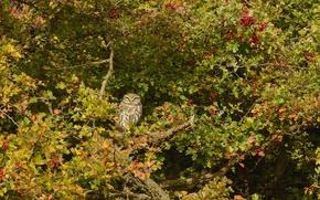 Картинка дерево, сова, птица, Домовый сыч, боярышник