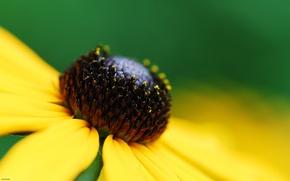 Обои цветы, жёлтый, макросьемка