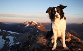 Картинка взгляд, горы, собака, Бордер-колли