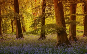 Картинка лес, деревья, цветы, Англия, колокольчики, England, Северный Йоркшир, North Yorkshire, Grass Wood, Grassington