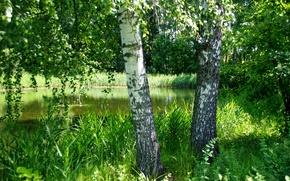 Картинка зелень, лето, трава, деревья, пруд, березы