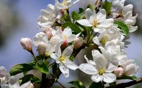 Картинка макро, ветка, весна, яблоня, цветение, цветки