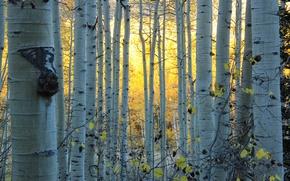 Картинка осень, лес, Колорадо, США, роща, осина, Аспен