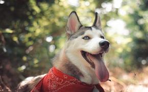 Картинка взгляд, макро, природа, Собака, уши, Хаски, Хаска, Лайка