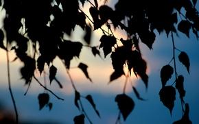 Картинка небо, листья, макро, закат, дерево, береза