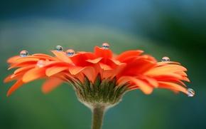 Картинка цветок, вода, капли, роса, лепестки, гербера