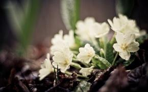Обои зелень, листья, капли, макро, цветы, земля, растения, фокус, весна, белые