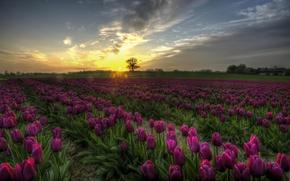 Картинка поле, закат, цветы, Тюльпаны, Дания