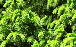 Картинка зелень, лето, текстура, Ель