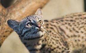 Картинка взгляд, морда, ©Tambako The Jaguar, кошка Жоффруа