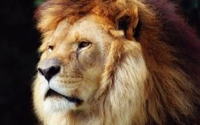 Обои грива, лев, царь зверей