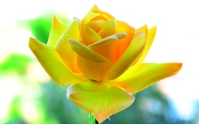 Обои желтая, лепестки, фон, роза