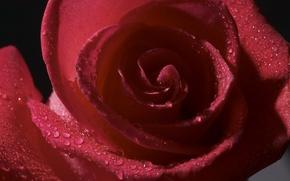 Картинка капли, цветы, роса, роза, лепестки, бутон