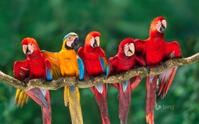 Картинка ветка, перья, клюв, попугай, хвост, ара, Перу, Тамбопата