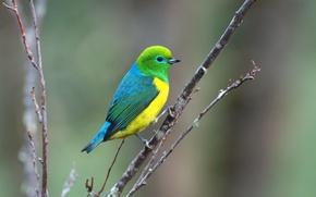 Картинка Blue, Green, Yellow, Bird, Branch, Saíra