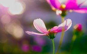 Картинка цветы, блики, розовые, космея