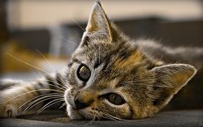 Обои взгляд, Кот, Котенок