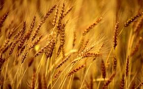 Картинка пшеница, поле, макро, фон, обои, рожь, wallpaper, широкоформатные, background, macro, полноэкранные, HD wallpapers, широкоэкранные