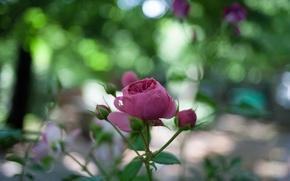 Картинка бутон, макро, природа, цветок, роза, размытость, листья, боке, лепестки, зелень, розовая, стебель, блики
