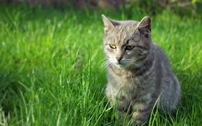 Картинка взгляд, eyes, grass, зелень, cat, трава, кот
