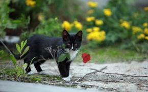 Картинка кошка, фон, роза