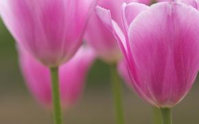 Картинка макро, цветы, лепестки, размытость, Тюльпаны, розовые