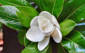 Картинка белый, цветок, цветы, зеленый, магнолия