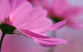 Обои макро цветы, лепестки нежный фон