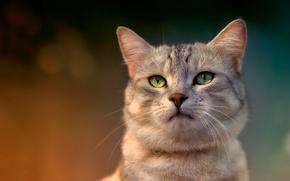Картинка кот, взгляд, домашнее животное