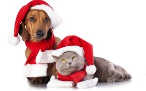 Картинка кот, собака, колпаки, шарфы