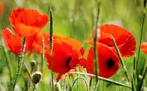 Картинка поле, лето, трава, солнце, макро, цветы, тепло, стебли, маки, лепестки, красные, зеленая