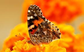Обои бабочка, краски, насекомое, цветы, мотылек