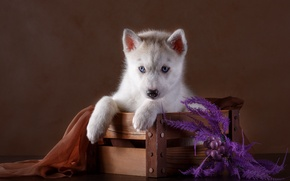 Картинка щенок, ткань, ящик, хаски, декор