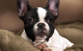 Картинка белый, глаза, морда, черный, собака, лапы, нос, малыш, контраст, пятна, щенок, окрас, уши, порода, пёс, …