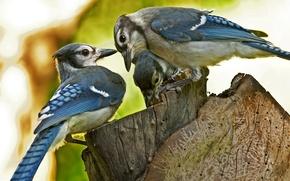 Картинка размытость, макро, три, птицы, пенёк, пень, Blue Jay