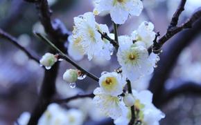Картинка вода, капли, макро, весна, Япония, цветение, Киото, императорский сад