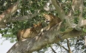Картинка дерево, отдых, хищник, лев, пара, львы